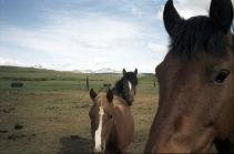 Mustangs sur la réserve indienne Blackfoot.